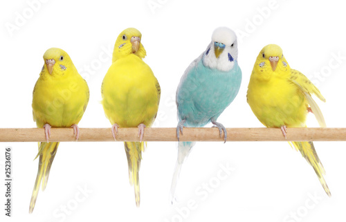 Photo Blue and three yellow budgerigars on a branch