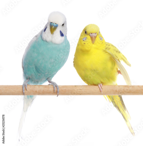 Canvas Print Blue and yellow budgerigars on a branch