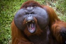 Powerful Orangutan In Borneo M...