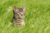Kotek w wysokiej trawie