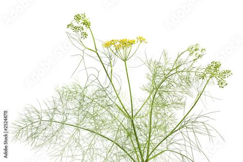 Fresh flowering fennel