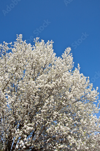 Foto op Plexiglas Magnolia White Blooming Pear Blossoms on a Blue Sky