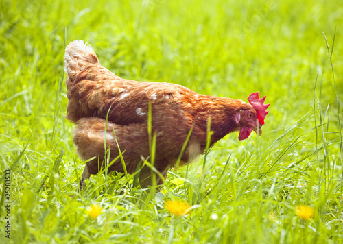 Keuken foto achterwand Kip hen on green grass feeding