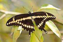 Giant Swallowtail - Heraclides Cresphontes