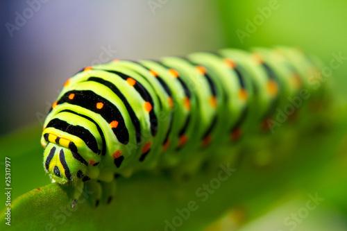 Fotografía  green caterpillar