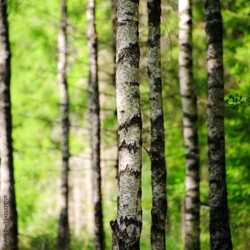 Deurstickers Berkbosje Birkenwald im Sonnenlicht 3