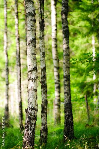 Foto op Plexiglas Berkbosje Birkenwald im Sonnenlicht