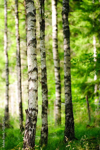 Deurstickers Berkbosje Birkenwald im Sonnenlicht