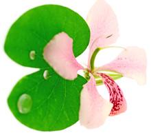 Fleur Et Feuille Du Bauhinia, ...