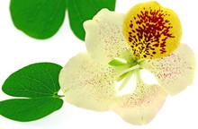 Fleur Du Bauhinia, L'arbre Orc...