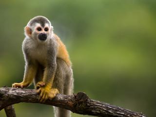 Fototapeta Squirrel monkey in a branch in Costa Rica