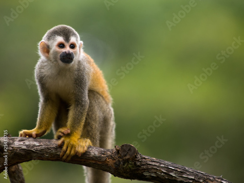 Poster de jardin Singe Squirrel monkey in a branch in Costa Rica