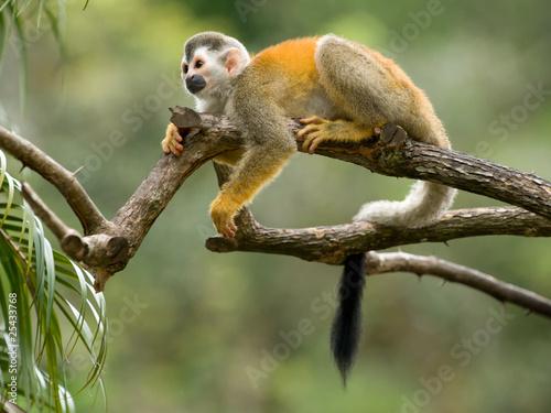 Tuinposter Eekhoorn Squirrel monkey in a branch in Costa Rica