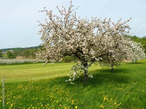 Fototapeta Wiosenne drzewa w rozkwicie