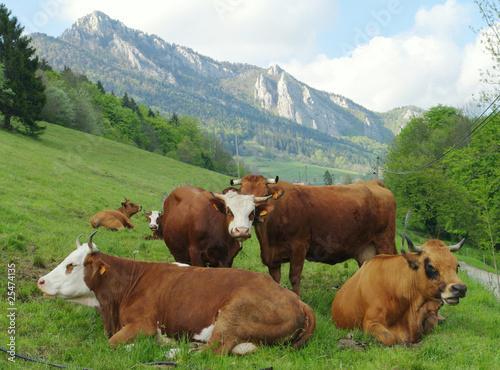 Poster de jardin Vache troupeau de vaches - chartreuse