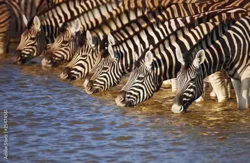 Poster Zebra Zebras drinking