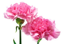 Two Pink Carnation
