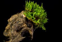 Moss On A Stump On Black