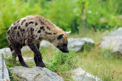 Photo sur Toile Hyène hyène tachetée