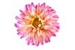 canvas print picture - Dahlienblüte