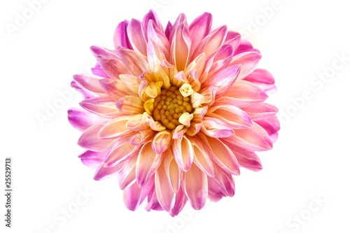 In de dag Dahlia Dahlienblüte