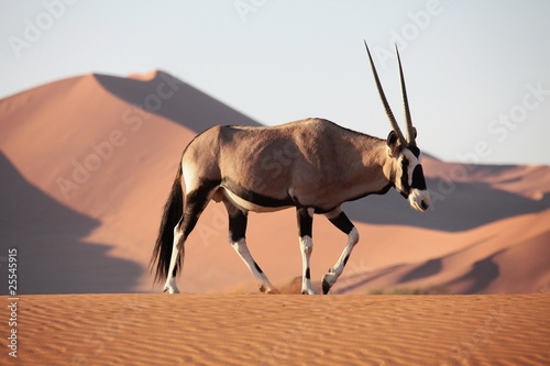 In de dag Antilope Oryx Antilope