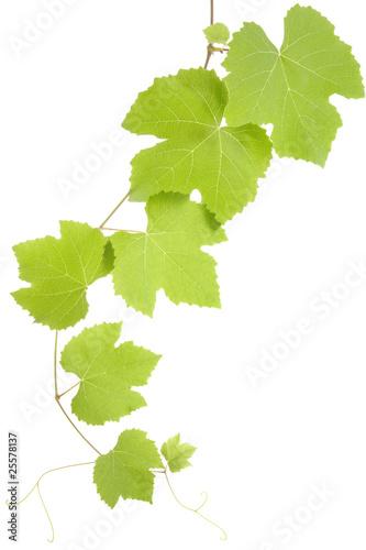 grape leaves Fototapete