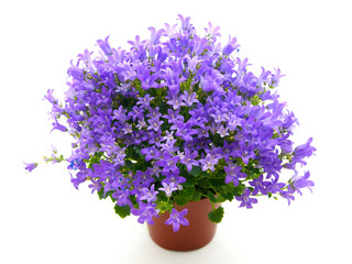 campanula flowers isolated on white
