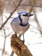 Blue Jay in a Winter Woodland