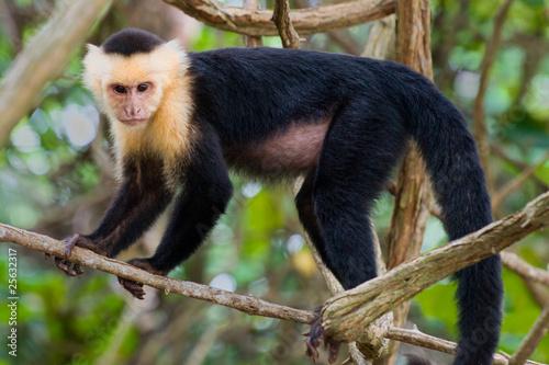 White faced Capuchin Monkey. Canvas Print
