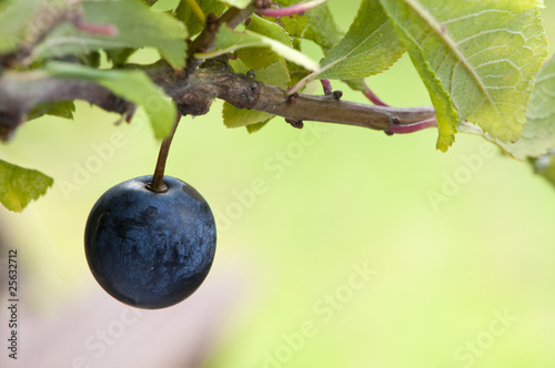 sloe berry ripens alone on blackthorn Canvas-taulu