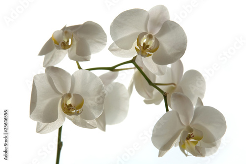 Garden Poster Orchid A tender white orchid