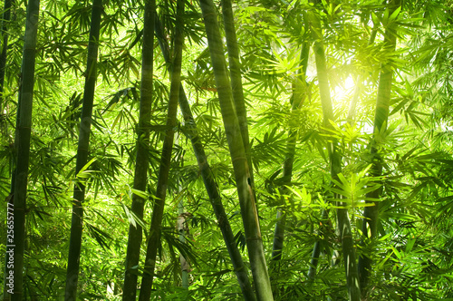 Foto op Canvas Bamboo Bamboo forest.