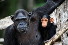 Chimpanzee With A Cub On Mangr...