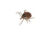 Parasite Tick
