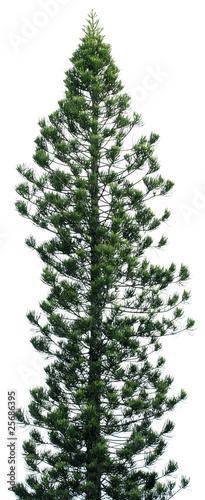 araucaria, conifère, araucaria heterophylla, fond blanc Wallpaper Mural