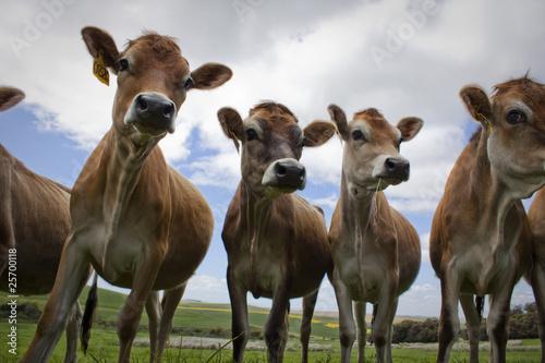 Cows Tapéta, Fotótapéta