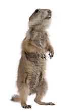 Black-tailed Prairie Dog, Cynomys Ludovicianus, Standing