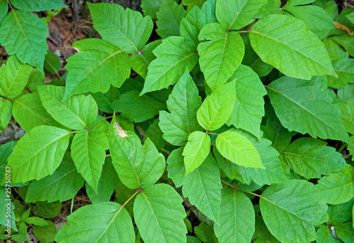 Fotografía  Poison Ivy