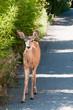 Deer by Road