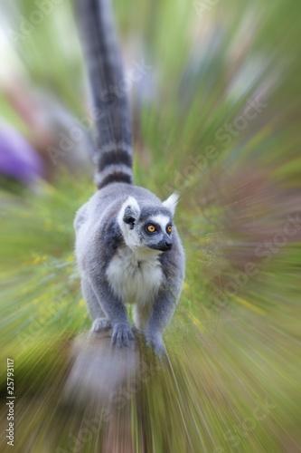 Vászonkép  Lemur
