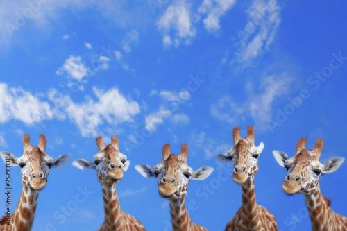 Girafe Giraffes