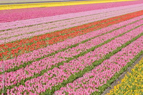 tulip field near Noordwijk, Netherlands