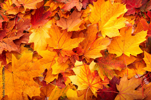 Background group autumn orange leaves. - fototapety na wymiar