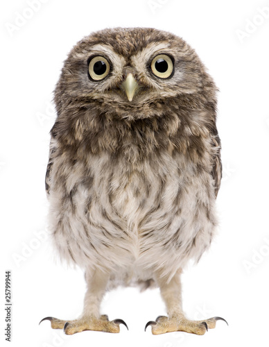 Little Owl, 50 days old, Athene noctua