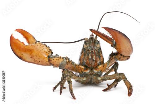 American lobster, Homarus americanus