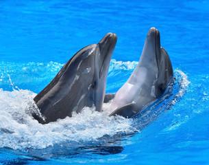 Fototapeta Couple of dolphin in blue water.