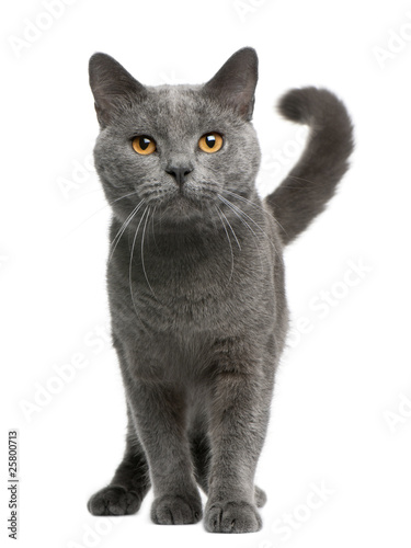 Papiers peints Chat Chartreux cat, 16 months old, standing