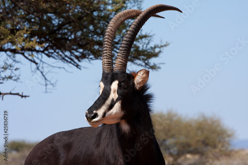 male sable antelope