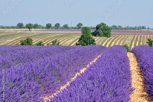 Tuinposter Lavendel lavande en fleur 13